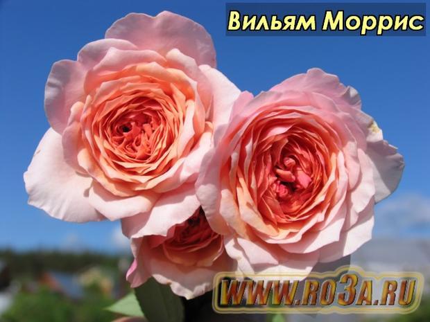 Роза William Morris Вильям Моррис