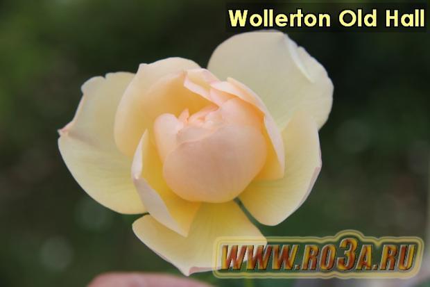 Роза Wollerton Old Hall Волертон Олд Холл