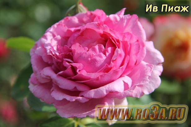 Роза Yves Piaget Ив Пиаж