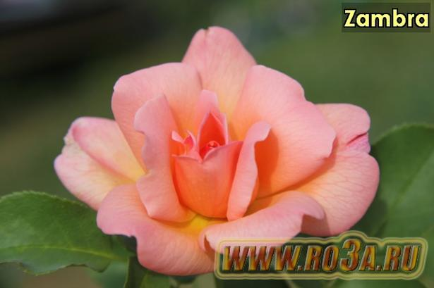 Роза Zambra Замбра